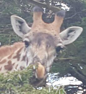 Giraffe on Safiar